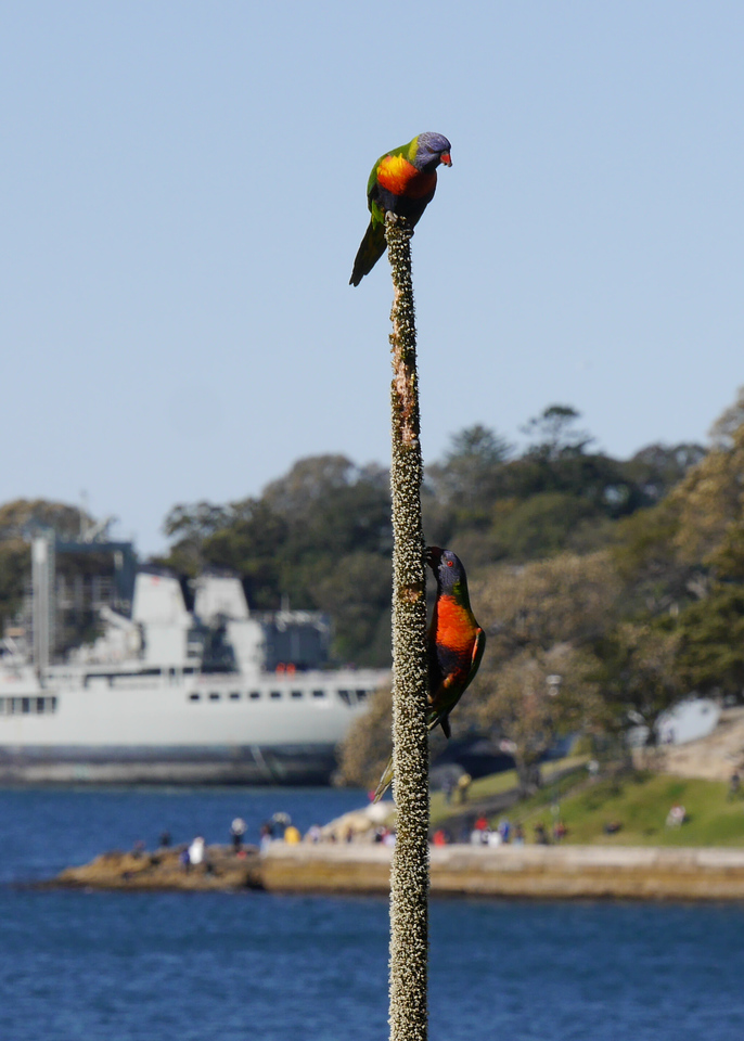 These rainbow lorikeets were not bothering the tourists but just looking beautiful as they ate flowers.