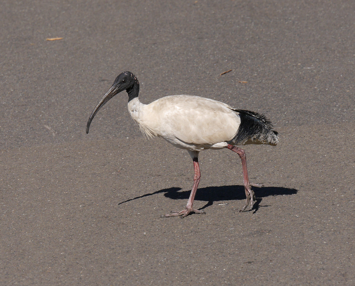 Seeing an ibis  in a city park was a pleasant surprise.  Finding out that  these Australian white ibis are an urban pest was a bit disappointing.