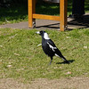 One pleasant surprise was seeing a number of bird sapecies in the gardens.  Of course; we see many more Australian magpies like this one but it was nice to start in the middle of a big city.