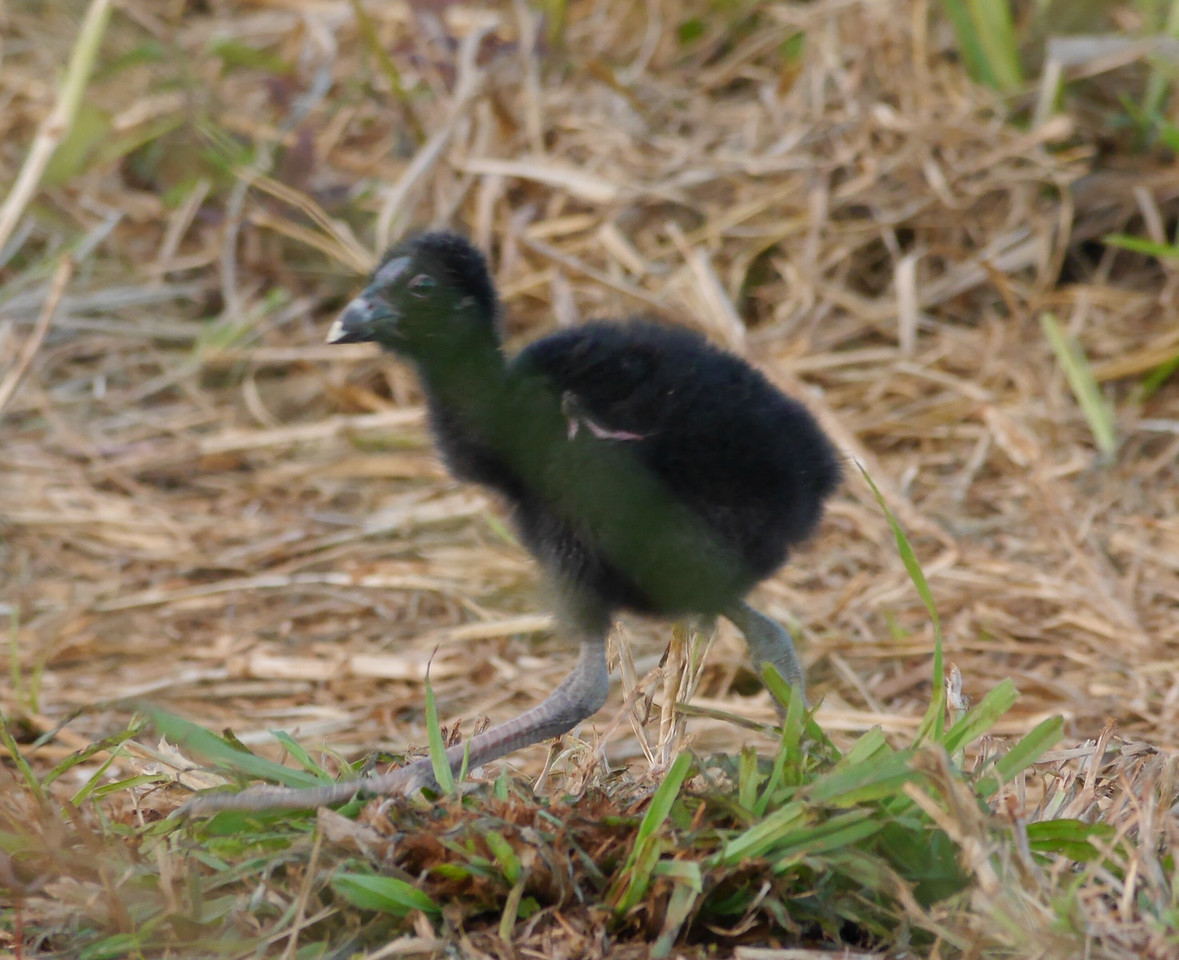A young swamp hen chick.  You can see the basic egg shape of its body and the massive legs.  Not a great picture but there was vegetation between us and the chick.