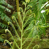 We visited lush rainforest areas in Daintree NP.  This fern caught my eye.
