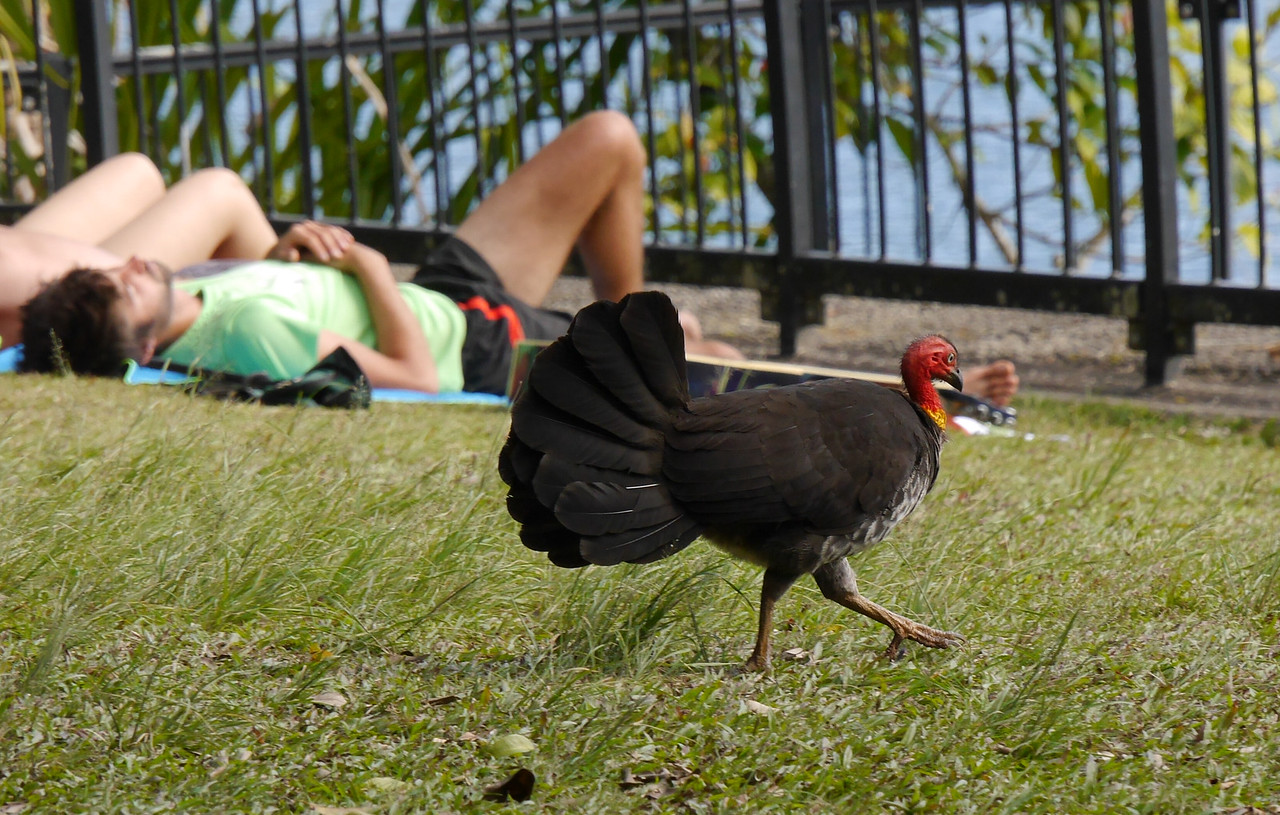 Crater NP in the Atherton Tablelands was a disappointment but this Australian brush-turkey was an obliging subject.  It got even closer to the people on the grass as it looked for picnic debris.