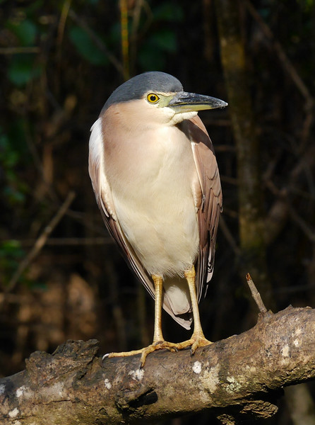 We did get a fine shot of this nankeen night heron.  Lovely subtle color.