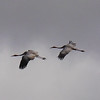 And saw two sarus cranes fly by, high in the sky.  This was the only time we saw sarus cranes on the trip.