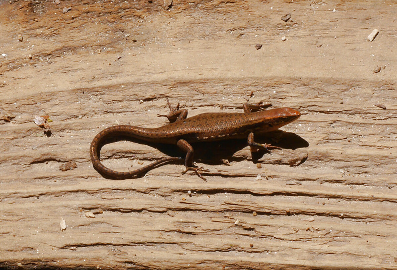 A lizard was sunning itself on a boradwalk.