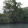 As we approached the boat ramp on the Daintree River for our dawn river cruise, we saw this egret roost across the river.  We got up before they did!