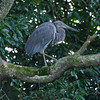 Our guide said that this great billed heron is rare.  It stayed on this limb for some time as we approached before flying away from us.