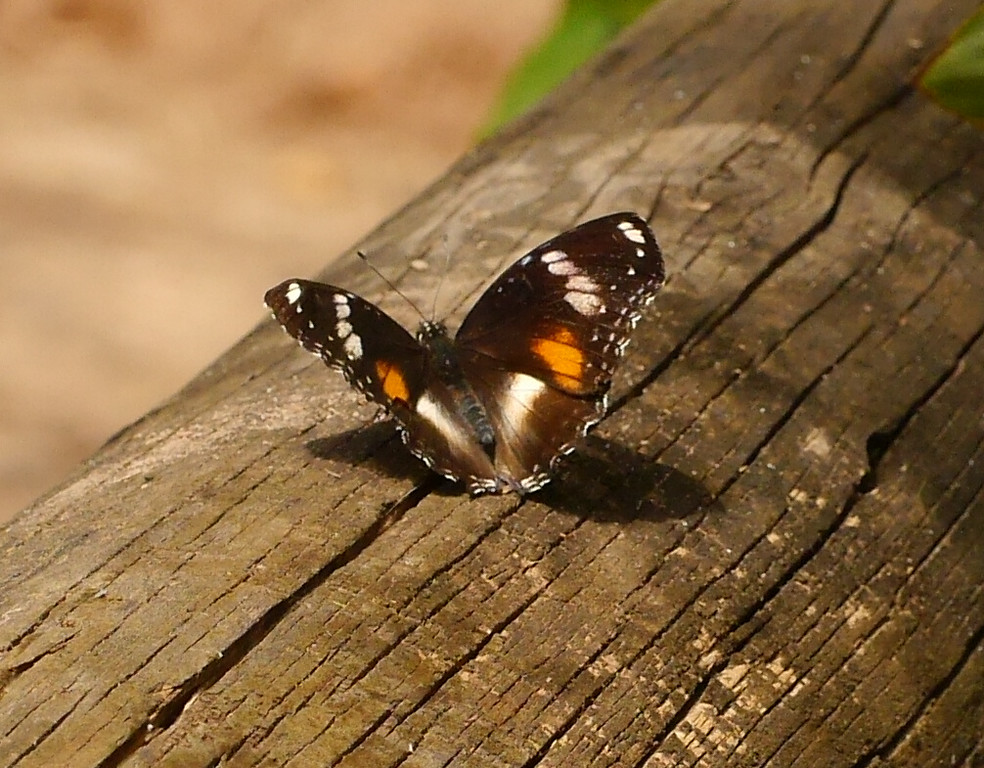 Another of Lesley's captures.  Sunlight lit up the pattern on this butterfly.