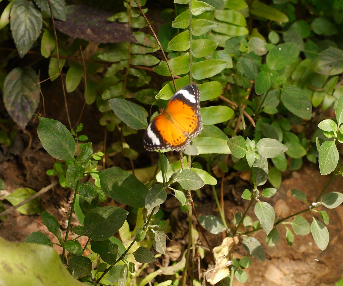 We got to the butterfly enclosure in early afternoon. The butterflies were quite active: a lot of flitting around and not much sitting in one place.  We persisted and got some good pictures.  This one is a bit fuzzy but it was the only picture of this butterfly that we got.