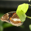 This butterfly was hiding but the rich color of the wing against the background pleased me.