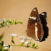 I liked the rich color of the butterfly's wings against the tan background.