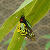 This butterfly had an especdially elaborate paint job.  I'm sure that the owner picked species with striking colors.
