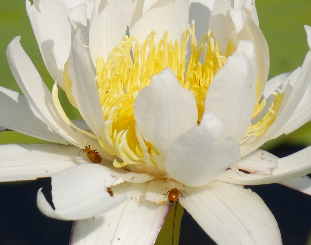 This lily flower was a bit ragged but the insects were quite interesting.