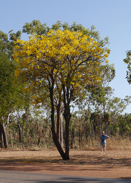 At first glance, this tree with yellow flowers that we saw north of Katherine seemed to be a kapok bush.  However, the size, the growth habit and the flowers were all different.