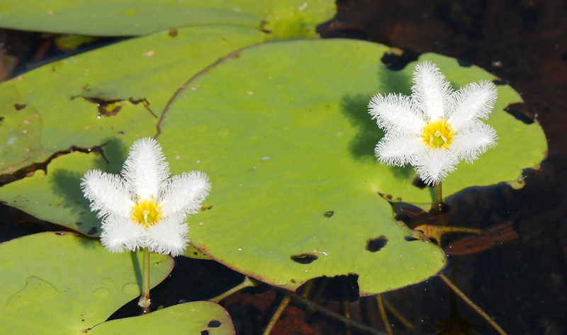 At a distance,  snowflake water lily flowers only register as white blobs.  Closer up, the  beauty of the the individual flowers becomes apparent.