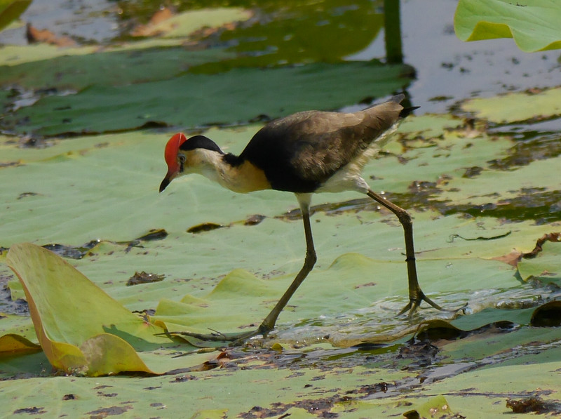 Some lily pads had jacanas striding across them.  A svelte bird with BIG feet.  Nice hat!