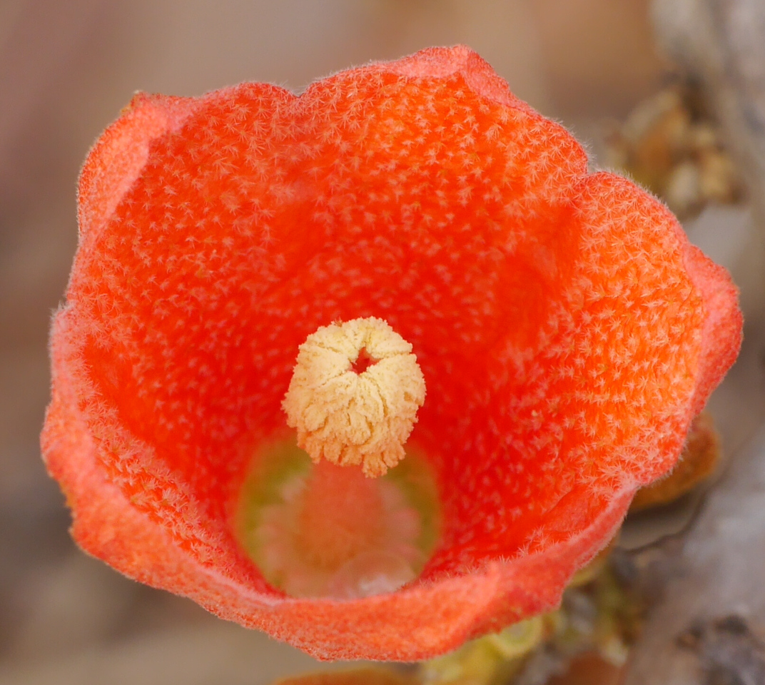 A view of the inside of a silk cotton tree flower.