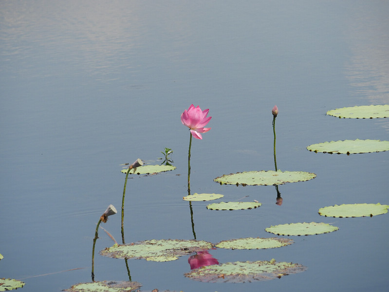 We saw lots of water lilies at Fogg Dam.  Still water, lily pads and big pink flowers made a pretty scene.  The seed heads on the left look rather like shower heads to me.