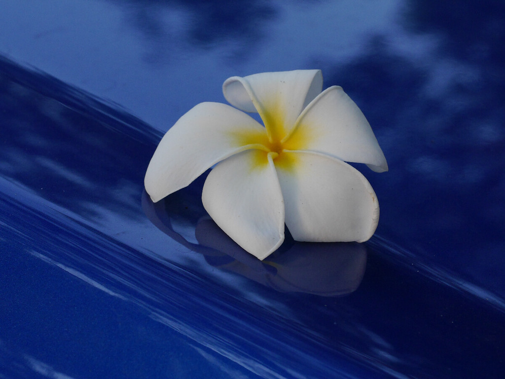 A frangipani flower on the hood of our rental car.  I especially like the ridges at the edges of the petals.