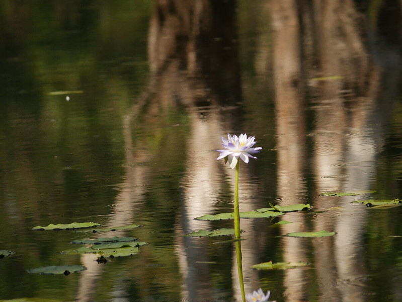We saw white water lilies later on.  This one at Tabletop Swamp in Litchfield NP had a very pleasing setting.