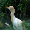 Cattle egret (?) <br /> <br /> (Photographed at Cleland Wildlife Park near Adelaide)