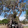 Herbig Famiily Tree, Springton, South Australia. An older man married a young woman and the two of them lived in this old gum tree for two years, having two children while there. They then moved to a small cabin where ultimately 14 more children were born.