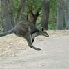 Leaping kangaroo at Cleland Wildlife Park.