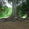 Magnificent buttress roots of a Moreton Bay Fig (Ficus macrophylla)  tree in the Adelaide Botanical Gardens.
