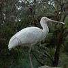 White Spoonbill (?)<br /> <br /> (Photographed at Cleland Wildlife Park near Adelaide)