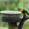 Rainbow Lorikeet<br /> <br /> (Photographed at Cleland Wildlife Park near Adelaide)