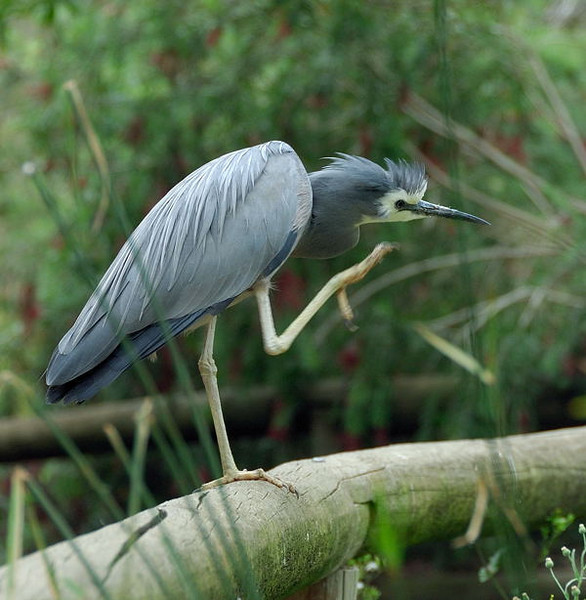 White-faced heron<br /> <br /> (Photographed at Cleland Wildlife Park near Adelaide)