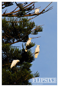 Cockatoos roosting in the Sydney Botanical Gardens