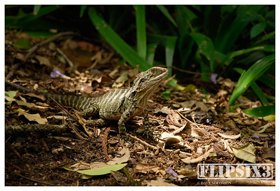 Eastern Water Dragon, Brisbane