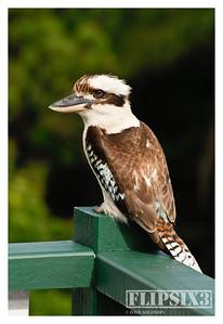 Kookaburra in Brisbane back yard.