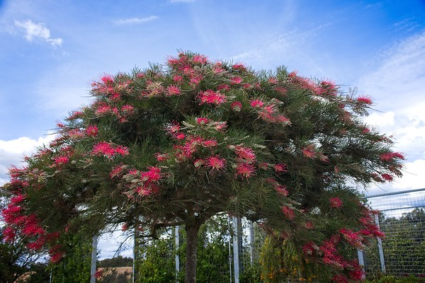 Cranbourne Garden - Grevillea 'Winter Delight'