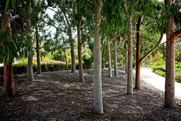 Cranbourne Garden - Angophora costata