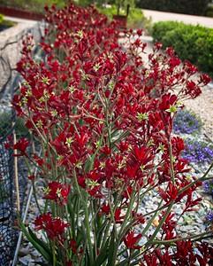 Cranbourne Garden - Anigozanthos 'Bush Volcano'