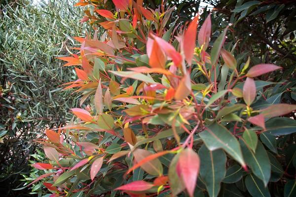 Cranbourne Garden - Corymbia ficifolia