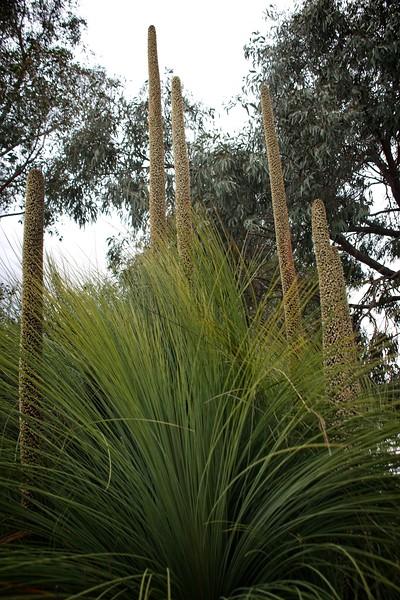Cranbourne Garden - Xanthorrhoea preissii