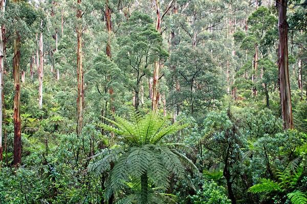 Sherbrooke Forest - Dandenong Ranges