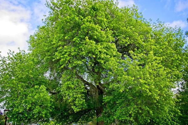 Ballarat Botanic Garden - Quercus palustris