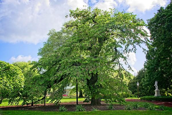 Ballarat Botanic Garden - Ulmus glabra 'Camperdownii'