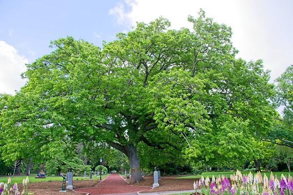 Ballarat Botanic Garden - Quercus cerris