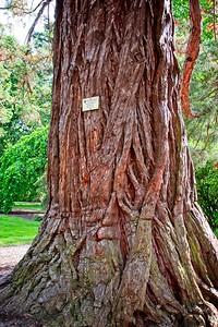 Ballarat Botanic Garden - Sequoiadendron giganteum