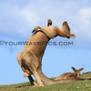 2017-03-06_172_Moonee Beach Scratching Kangaroo.JPG<br /> <br /> This guy was having a euphoric scratch of his belly!