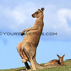 "2017-03-06_175_Moonee Beach Scratching Kangaroo.JPG<br /> <br /> ""Ahhh, scratching my belly feels so good!"""