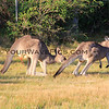 2017-02-15_9512_Pretty Beach_Kangaroos horny.JPG<br /> <br /> Wild kingdom!!!  This male kangaroo was trying to put the moves on this female!