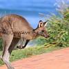 2017-02-15_9373_7556_Pebbly Beach_Kangaroo.JPG