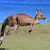 2017-02-15_9373_7558_Pebbly Beach_Kangaroo.JPG