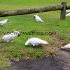 2016-03-29_1696_Avalon Cockatoos.JPG<br /> <br /> Wild Sulfur-Crested Cockatoos are everywhere!